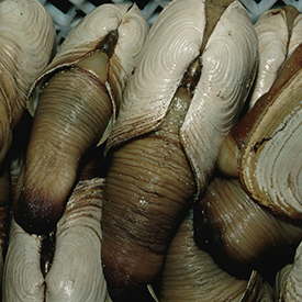 Harvested Geoducks