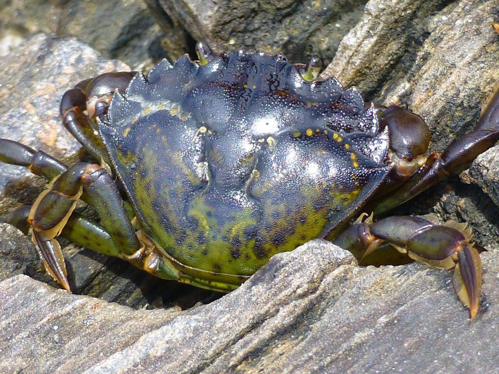 identifying european green crab u2013 washington sea grant