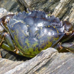 The flattened last pair of walking legs is clearly visible in this image of  a European green crab taken in Maine, where it is also invasive. (Photo: Emily Grason)