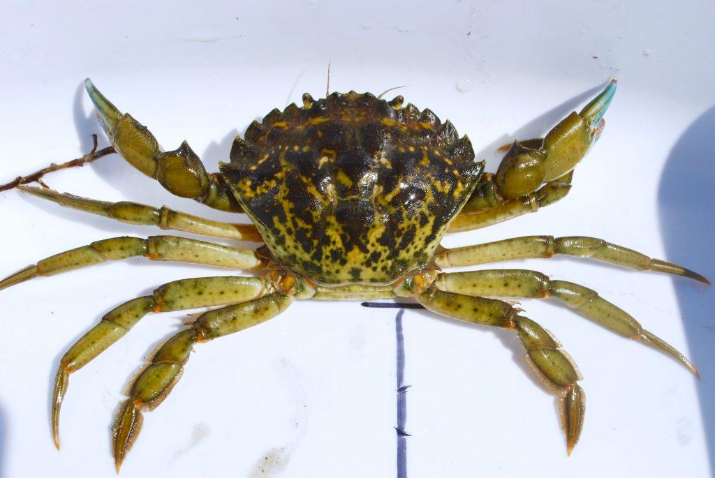 green crab invasion