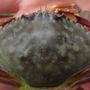 Native graceful crab (Metacarcinus (Cancer) gracilis). Notice the oval shape of the carapace with 10 spines (marginal teeth), distinct from European green crabs.