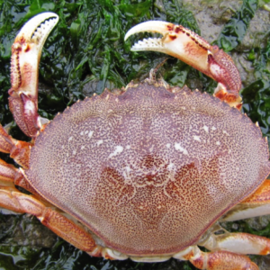 Molt of a native Dungeness crab (Metacarcinus (Cancer) magister). The carapace is oval rather than fan shaped, with 10 marginal teeth outside of the eye.