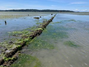 Photo of buried pipe on tide flat at the pillars site in Drayton Harbor