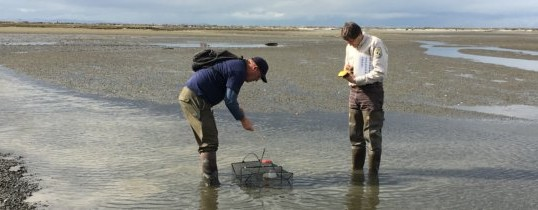Update on European Green Crab at Dungeness Spit