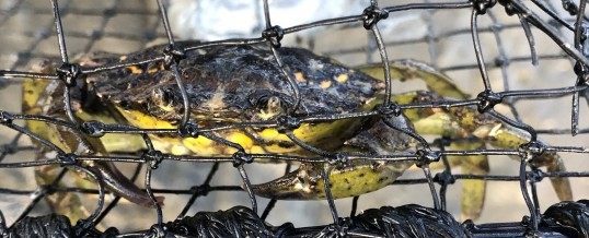 Further Green Crab Captures in Whatcom County