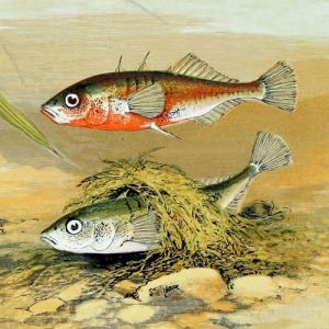 Three-spined stickleback in breeding coloration and an example of the elaborate nest male constructs from sand and plant material. Artwork from Alexander Francis Lydon, British Freshwater Fishes.