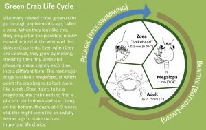 Green Crab Lifecycle
