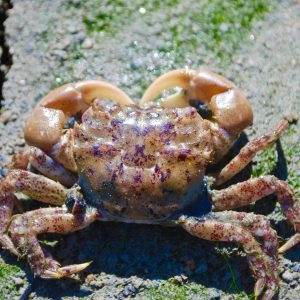 Hairy Shore Crab
