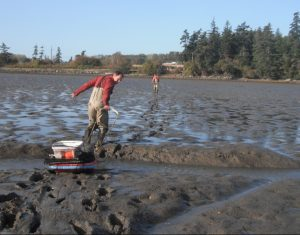 Heath Bohlmann PBNERR) uses a sled to haul retrieved traps back across sticky mud of March Point. Emily Grason)