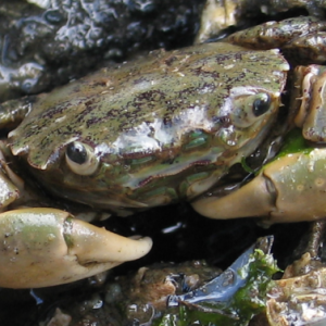 Native Oregon shore crabs (Hemigrapsus oregonensis) are often mistaken for invasive green crabs. Note their large, muscly claws compared to green crabs. They also have only three marginal teeth.