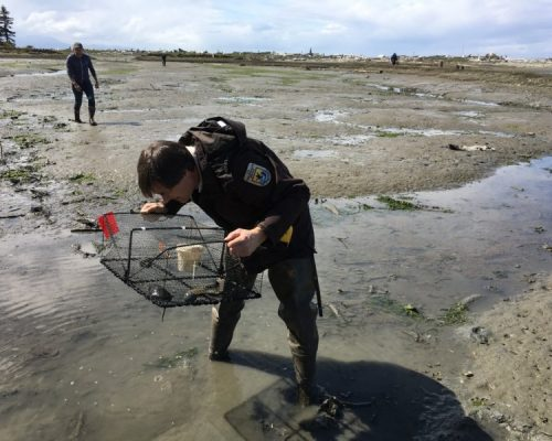 Sean McDonald (background) and Lorenz Sollmann (foreground), Deputy Project Director at Washington Maritime NWR Complex, check traps at Dungeness Spit for European green crab following the recent captures (Photo: Allen Pleus)