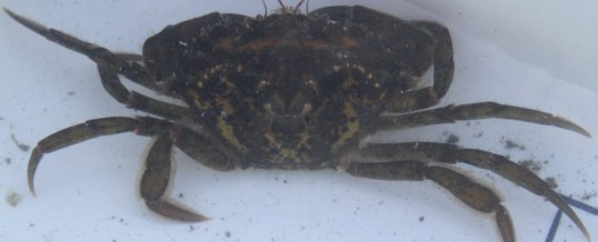 Trapping for European Green Crab on Whidbey Island