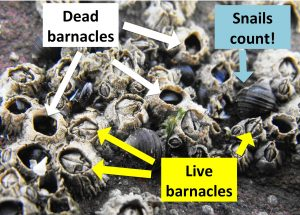 Live Barnacles