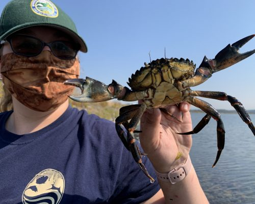 WDFW technician April Fleming, based in Drayton Harbor, holds European green crab. Photo credit: Amy Linhart