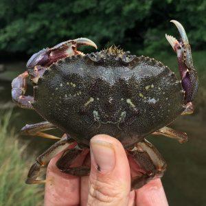 Dungeness crab at Pysht. Photo courtesy of Kelly Martin.