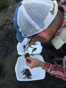 Sean measures one of four European green crabs captured at Tokeland to help determine its age. (Photo: Emily Grason)
