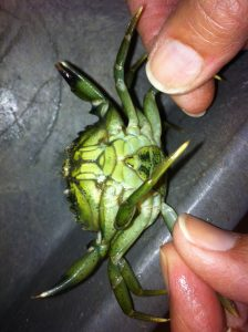 Female invasive European green crab captured in Padilla Bay. Photo courtesy of PBNERR