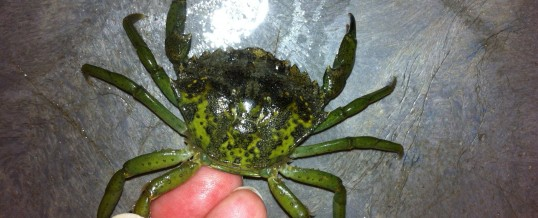 New Sighting of European Green Crab in Padilla Bay