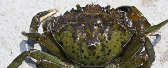 First European Green Crab Confirmed in Port Angeles