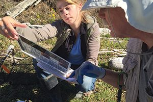 Capstone student Natalie White checks a crab's ID. Photo: Susan Mador.