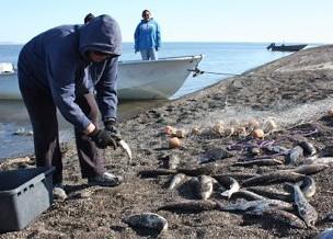 Photo of subsistence fishermen unloading salmon in Sisualik, Alaska
