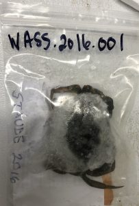 """A plastic resealable bag labeled """"WASS.2016.001"""" with a frozen European green crab inside."""