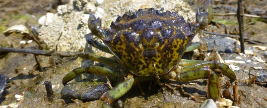 Single Green Crab Found During Follow-Up Assessment on Whidbey Island