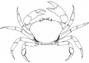 carcinus sketch