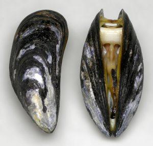 dead mussel2